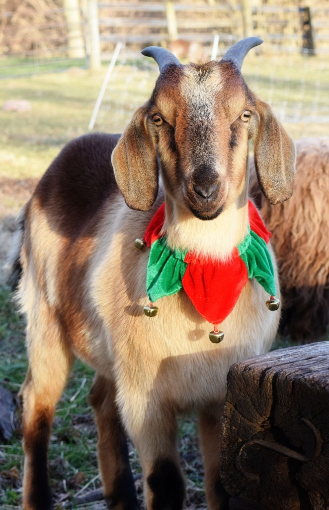 Christmas goat3