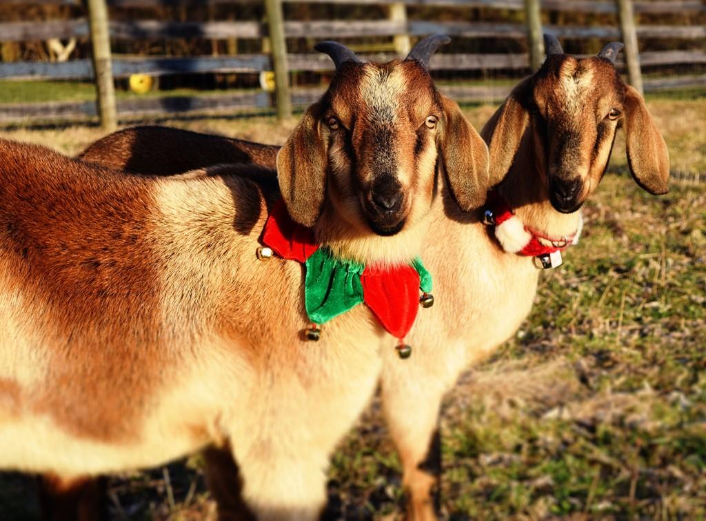 christmas goats
